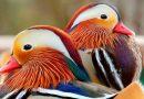 Tengo una pareja de patos Mandarín, ¿cuáles son las condiciones para su reproducción?