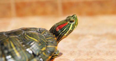 Amenaza para Nuestro Ecosistema:Tortuga Orejas Rojas, Mascota Prohibida