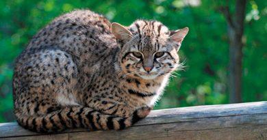 Felinos Silvestres Chilenos: Nuestros Gatos Silvestres
